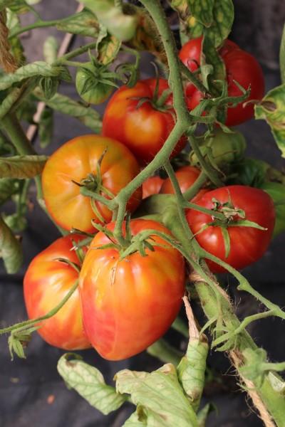 tomate 39 rotes ochsenherz 39 10 bio samen biobewusst gartenshop. Black Bedroom Furniture Sets. Home Design Ideas
