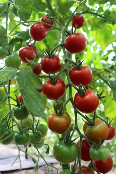 Vesennij Michurinskij (Jungpflanze)