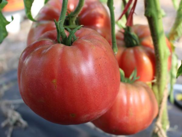 tomate 39 ochsenherz rosa 39 10 bio samen biobewusst gartenshop. Black Bedroom Furniture Sets. Home Design Ideas
