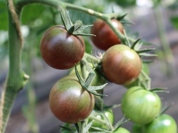 Black Cherry (Saatgut)