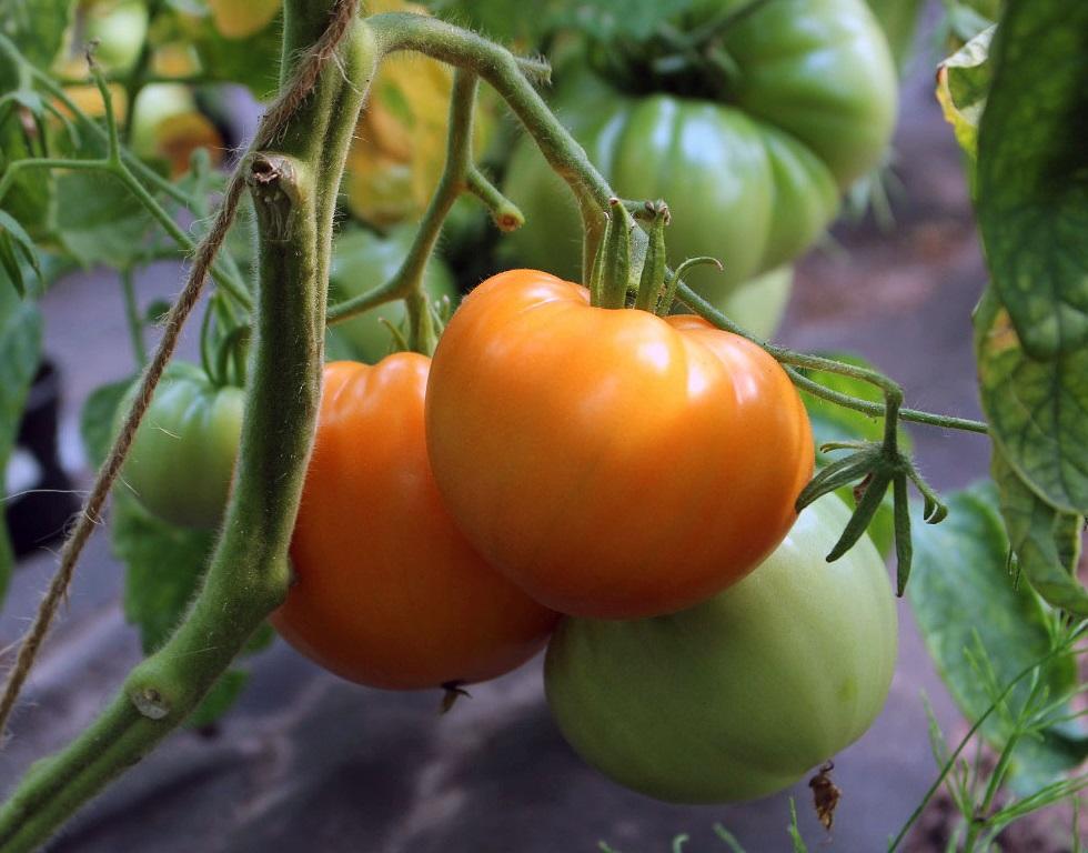 tomate 39 russian persimon 39 10 bio samen biobewusst. Black Bedroom Furniture Sets. Home Design Ideas