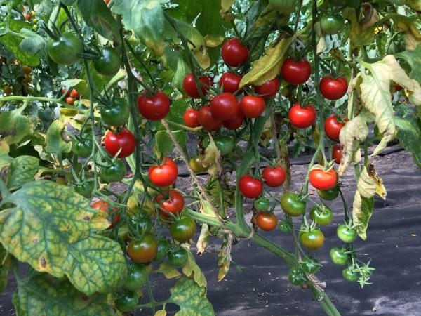 Mexikanische Honigtomate (Jungpflanze)