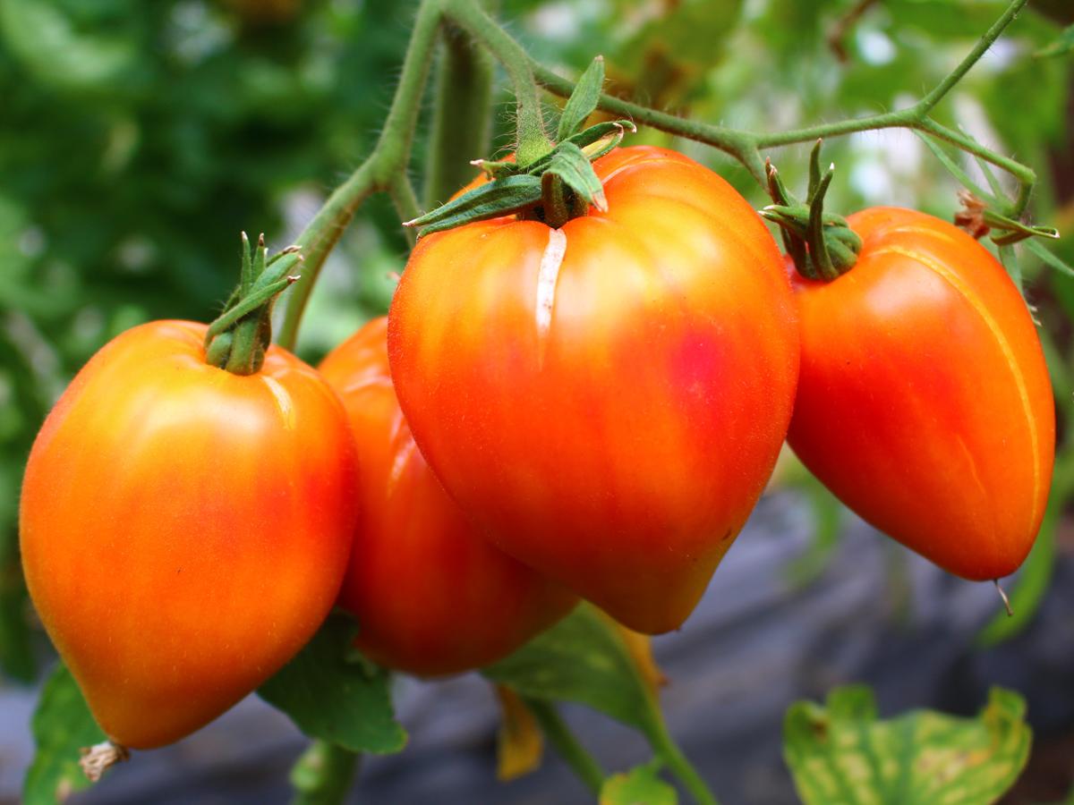 tomate 39 orange russian 39 10 bio samen biobewusst gartenshop. Black Bedroom Furniture Sets. Home Design Ideas