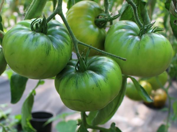 Isumrudnoje Jabloko (Smaragdapfel) (Jungpflanze)